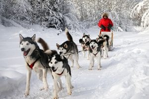Photo of a Person Dog Sledding near Sandy Lane, One of the Finest Winter Getaways in Ontario.
